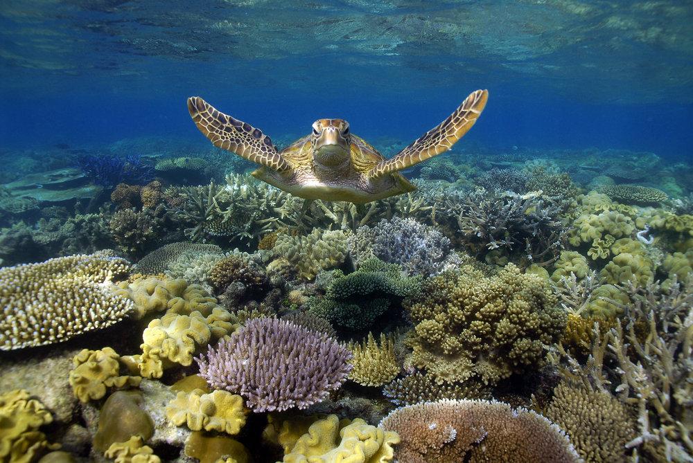 Sunlover Reef Cruises Turtle.jpg