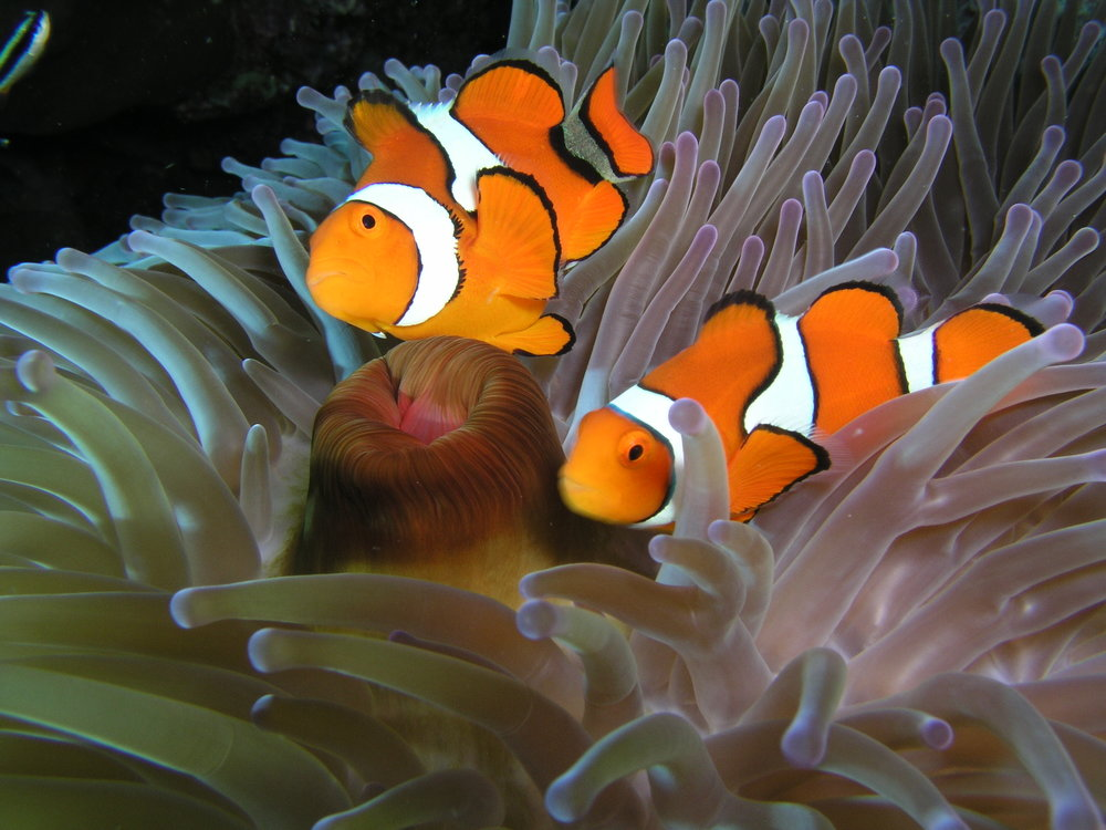 clown-fish-in-anenome.jpg