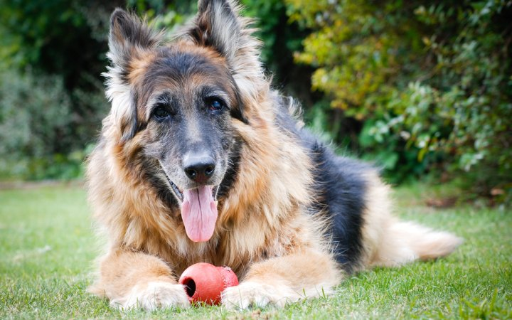 This German Shepherd, who is in late middle age, is a very good boy.