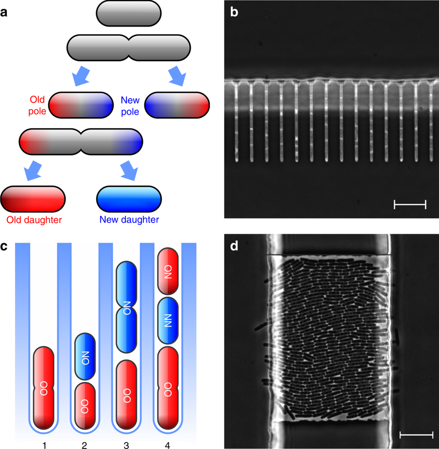 """Figure 1 of Proenca et al. (a) Schematic of bacteria dividing by fission, emphasizing inheritance of new and old poles. (b and c) Micrograph (b) and schematic (c) of the """"mother machine,"""" a microfluidic device that allowed the authors to measure division time in each type of descendant. (d) The """"daughter device,"""" another microfluidic setup that allows bacteria to divide freely."""