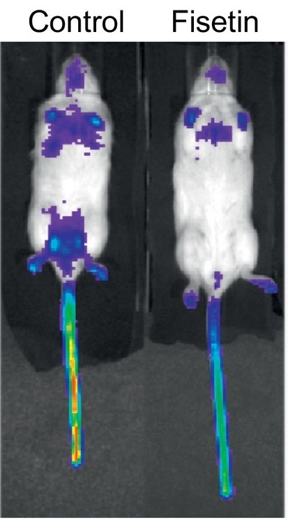 Luminescence assay showing that fisetin eliminates senescent cells (from Figure 3 of Yousefzadeh et al.)