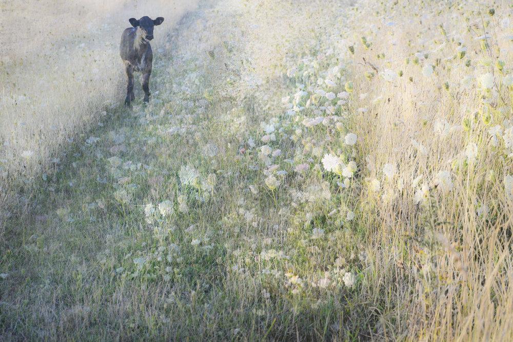 Calf in the Meadow by Roger Scott.jpg