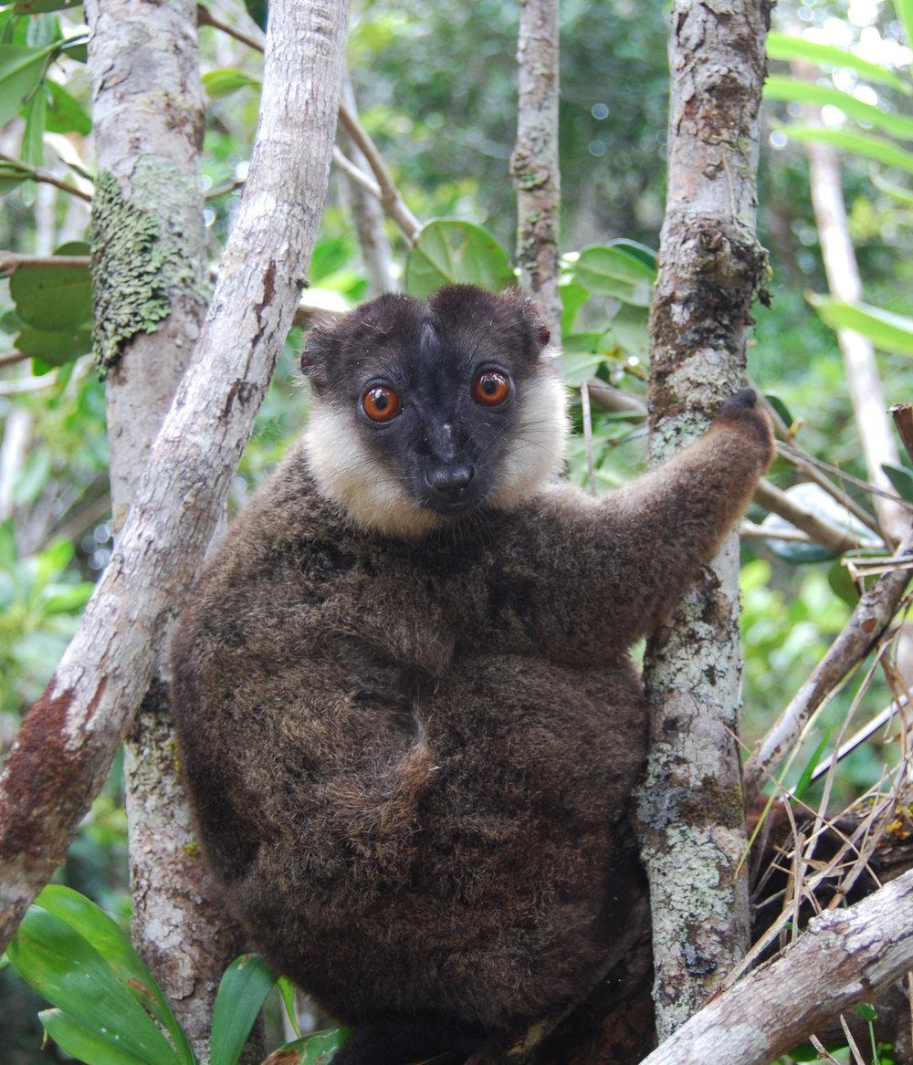 adjusted lemur.jpg
