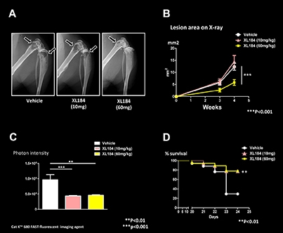 A: X-ray images of mice with MDA-MB-231 bone metastases; B: Osteolytic lesion area measurements (mm2); C: Tumor burden measured by optical imaging; D: Survival curve