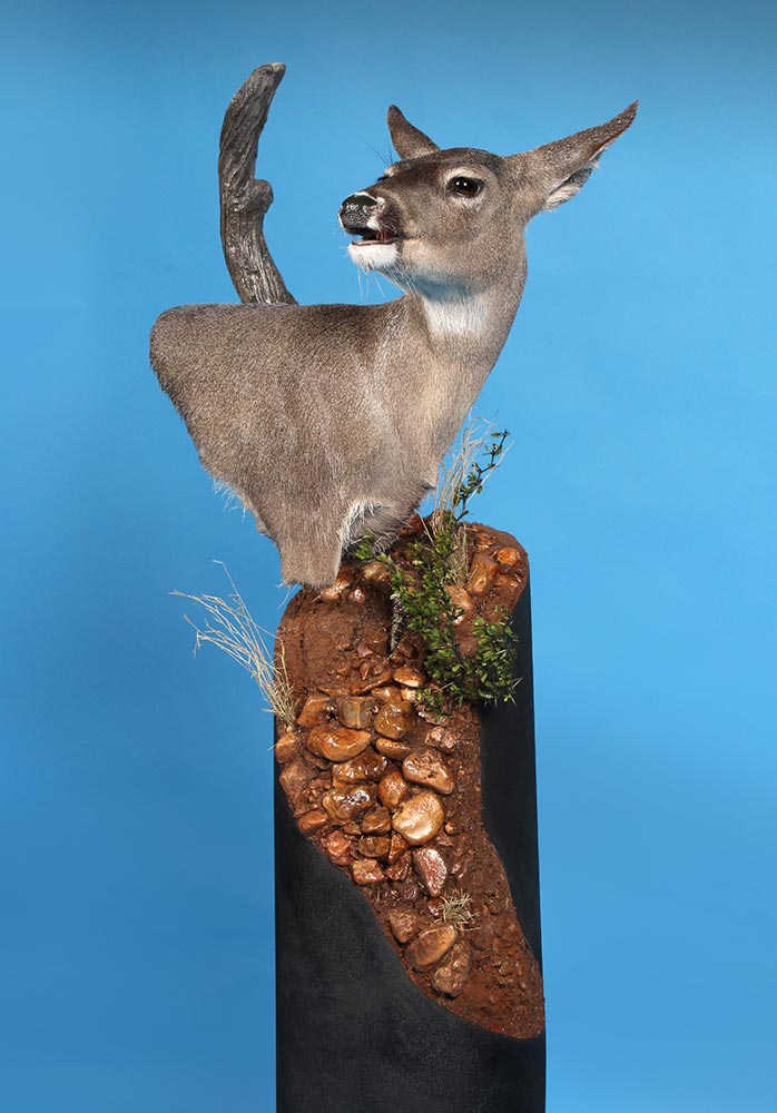 2nd in Division World Show - Whitetail -