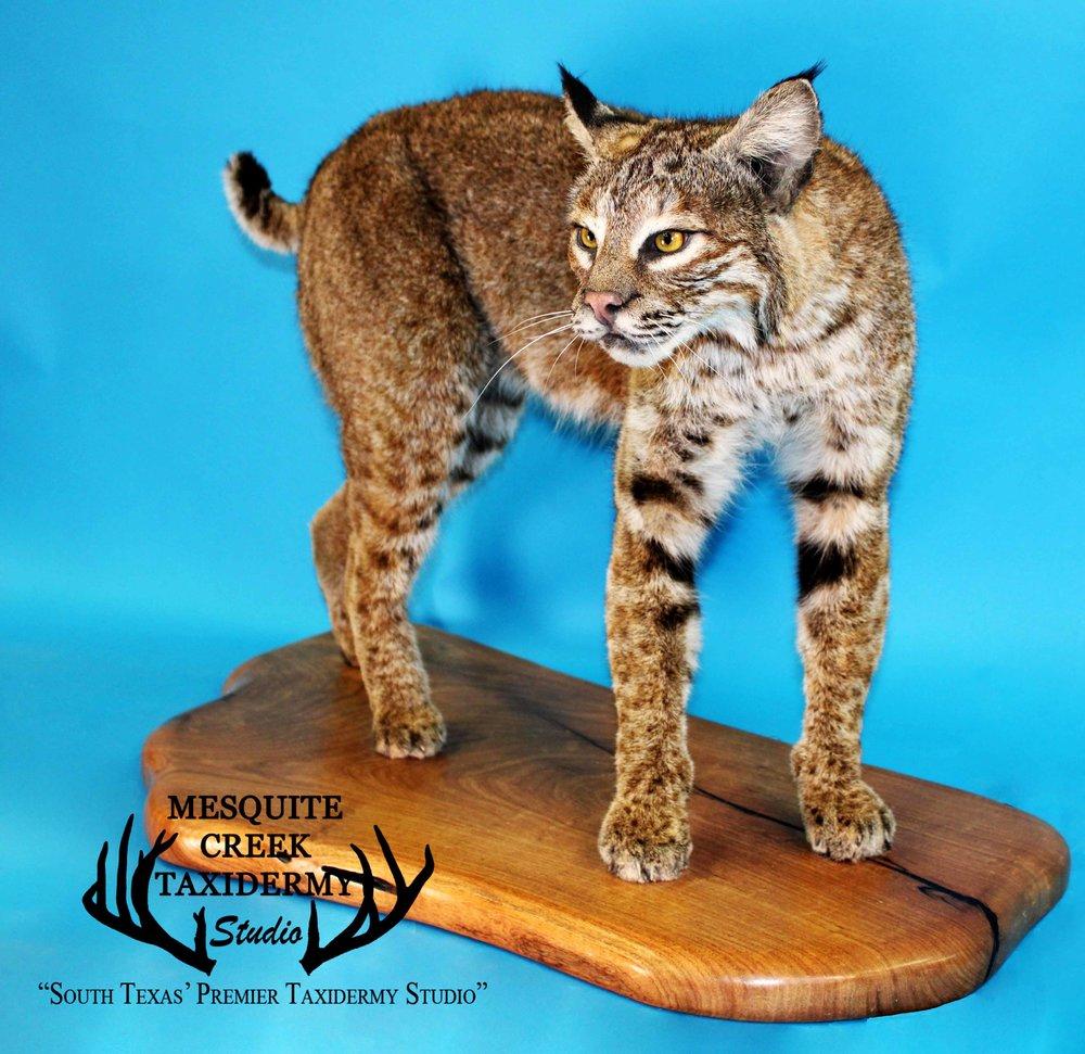 South Texas Bobcat Mesquite Slab -