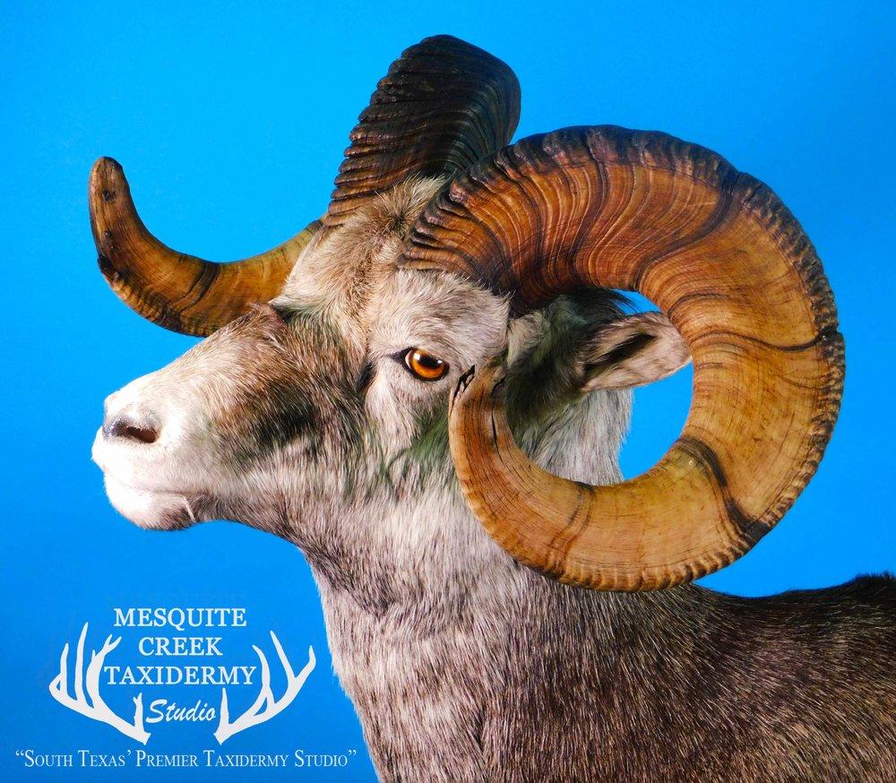 Stone Sheep -