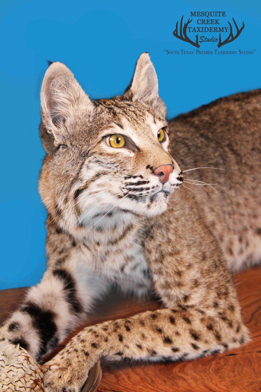 Bobcat Face.jpg