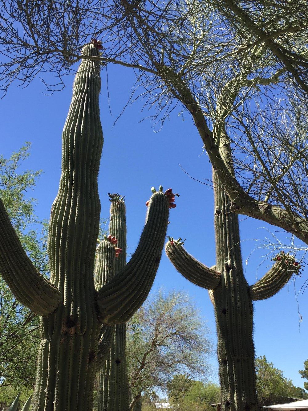 saguaros%2Bwelcome.jpg