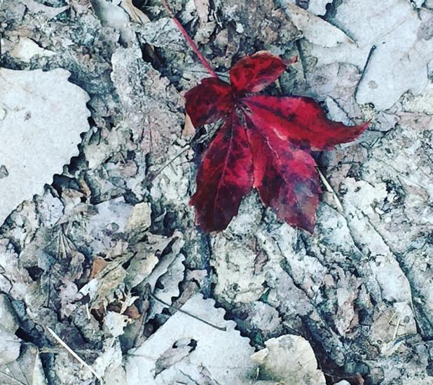 Maple Leaf, 2016