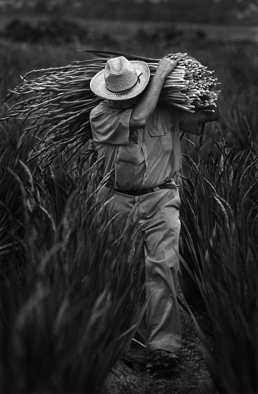 Gladiola Harvest