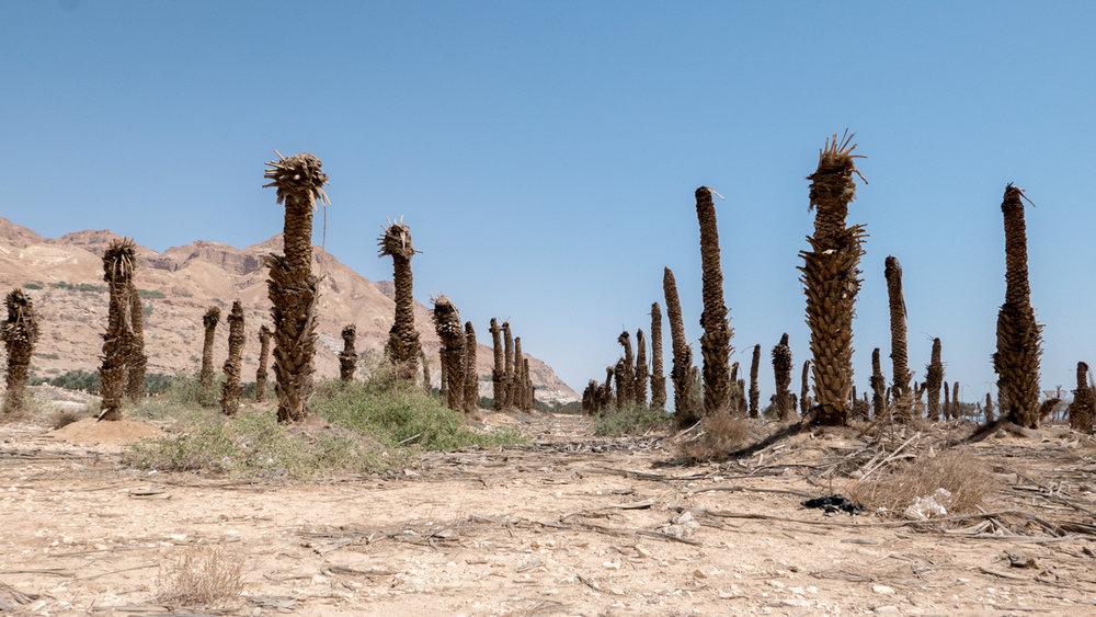 17. Polina Teif_Eulogy_Ein Gedi Abandoned Palm Plantation.jpg