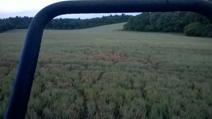 Deer tracks in an OSR crop