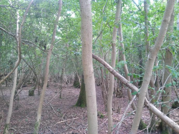 Coppice plot before works