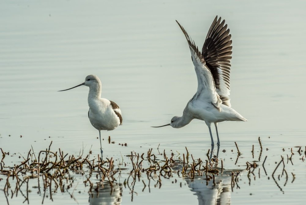 Avocets love to stand on one leg and to stretch their wings (Photo 5)