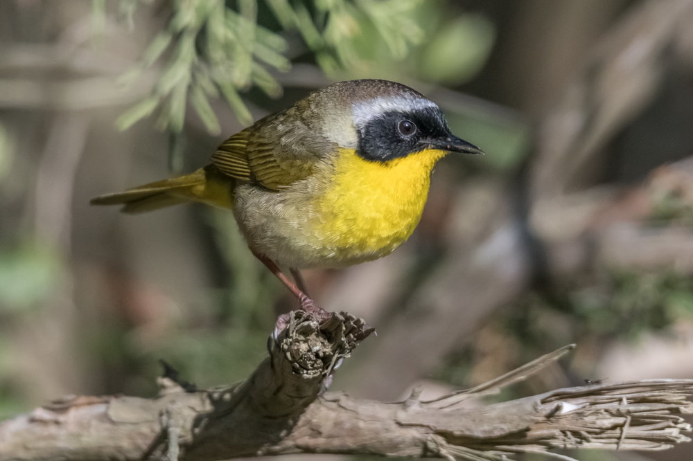 The male Yellowthroat has a distinctive black mask.