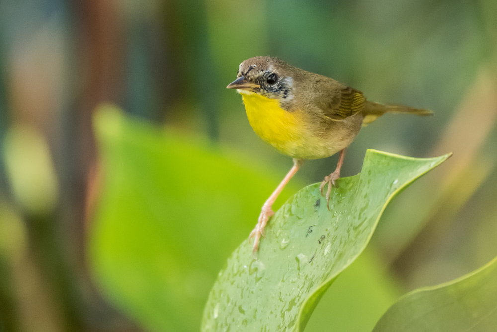 Common Yellowthroat, juvenile