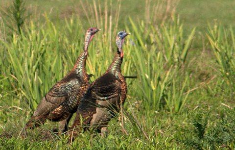 Wild Turkeys roam the Adams Ranch lands.