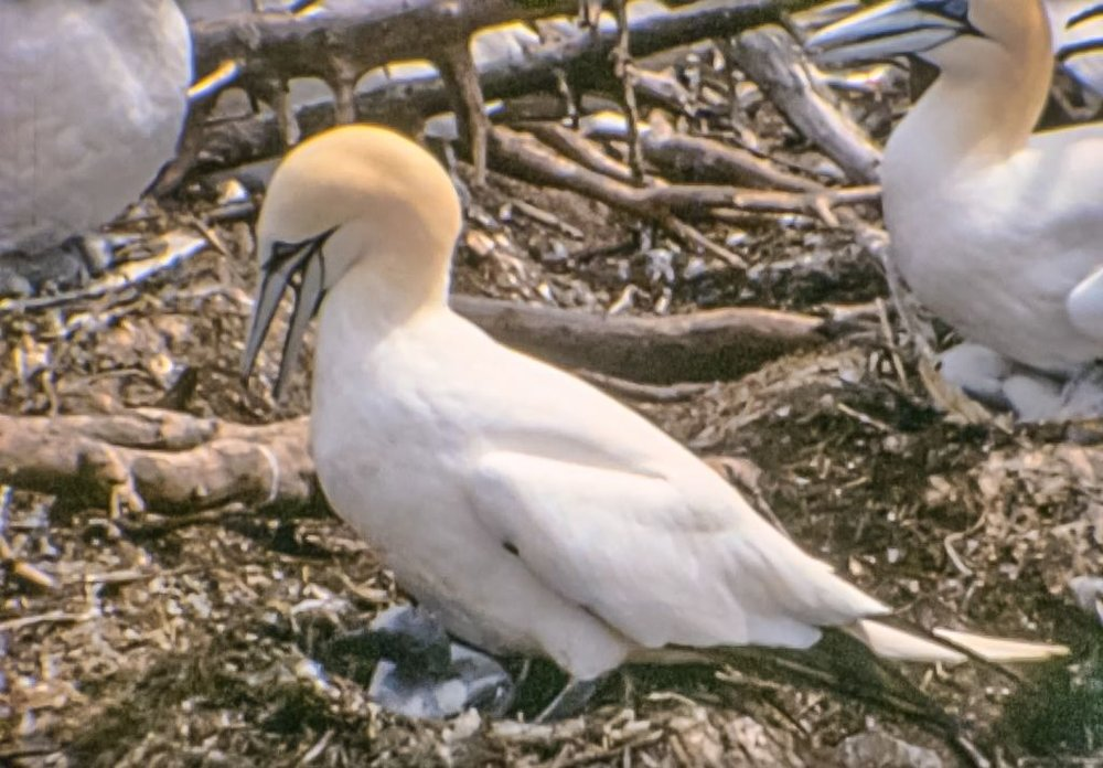 Photographing Northern Gannets may take some extra effort (Photo 7)