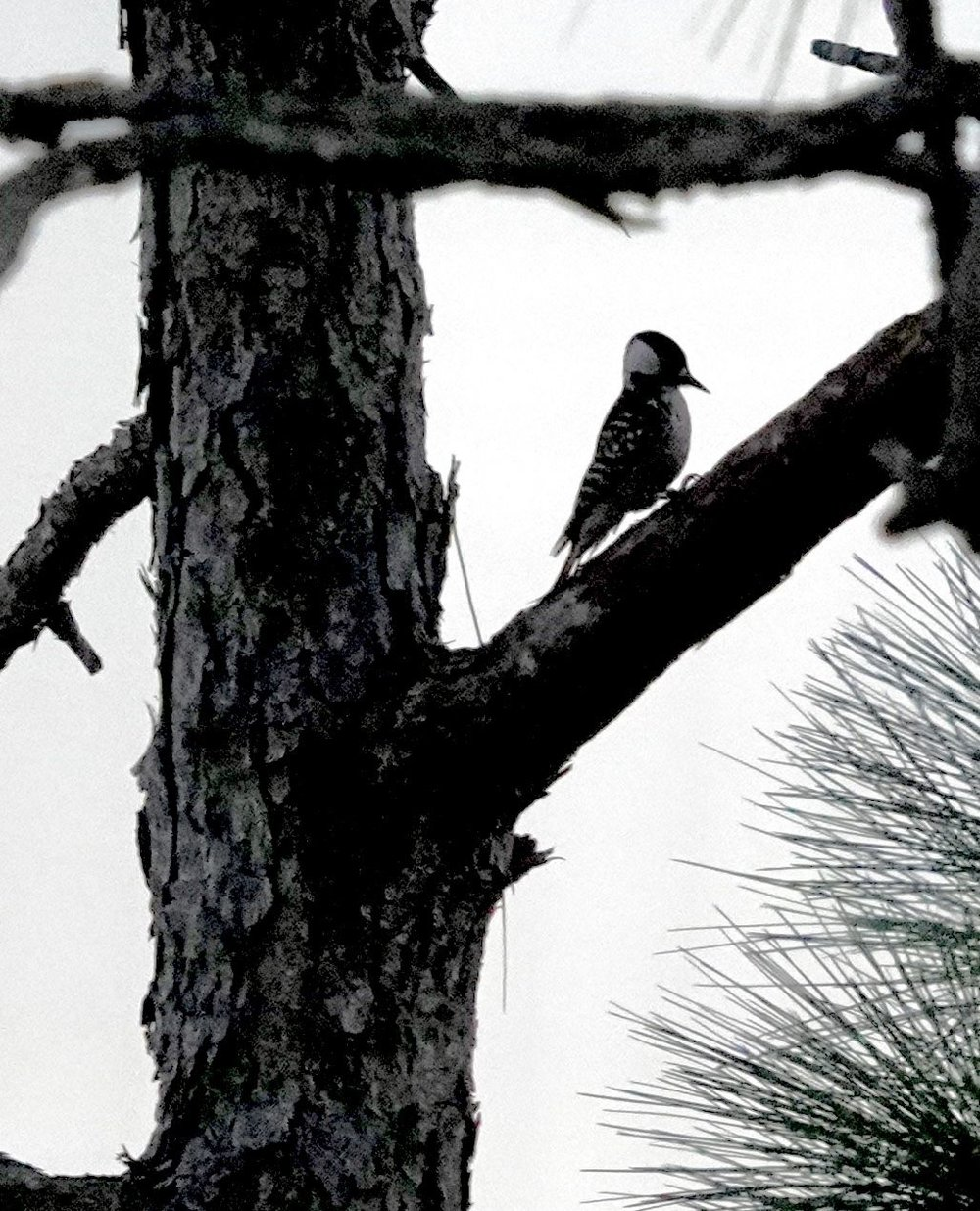 Red-cockaded Woodpecker (LS)