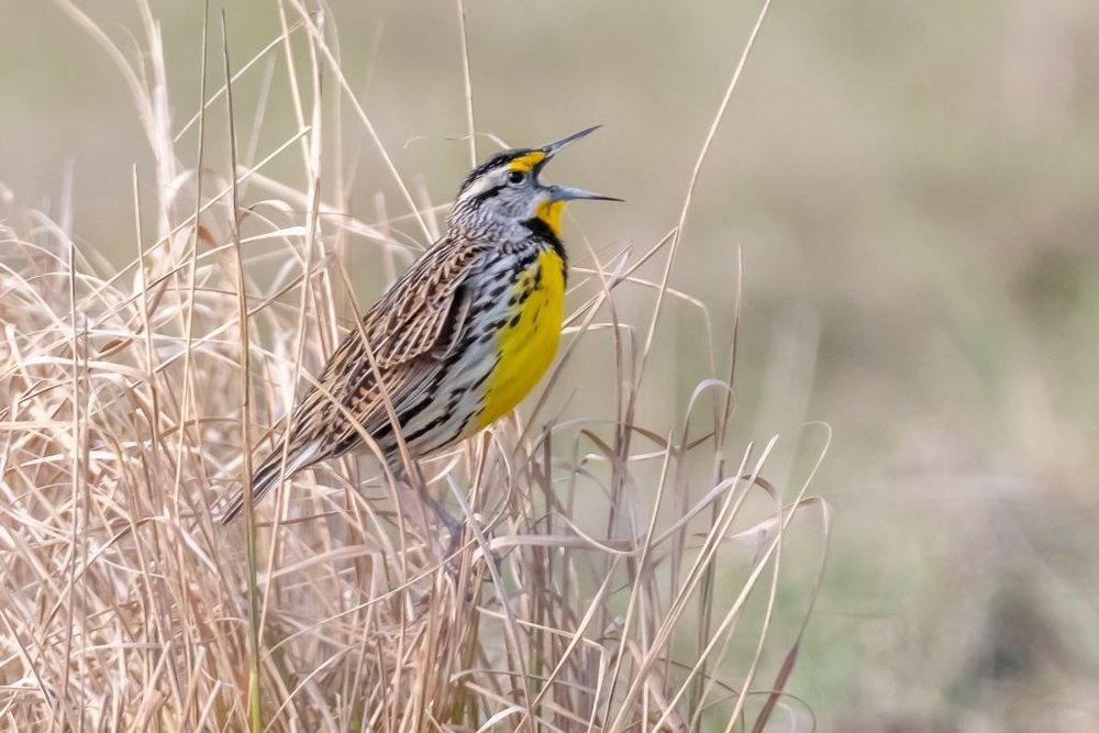 Eastern Meadowlark (HR)
