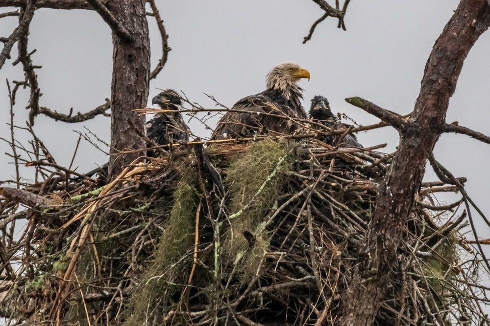 Eagles on nest (HR)