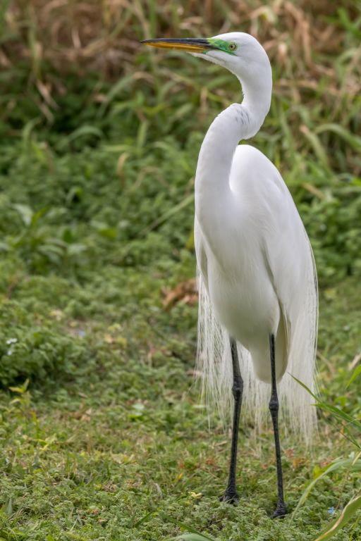 Great Egret (HR)