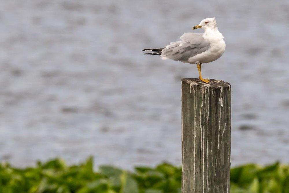 Ring-billed Gull (HR)