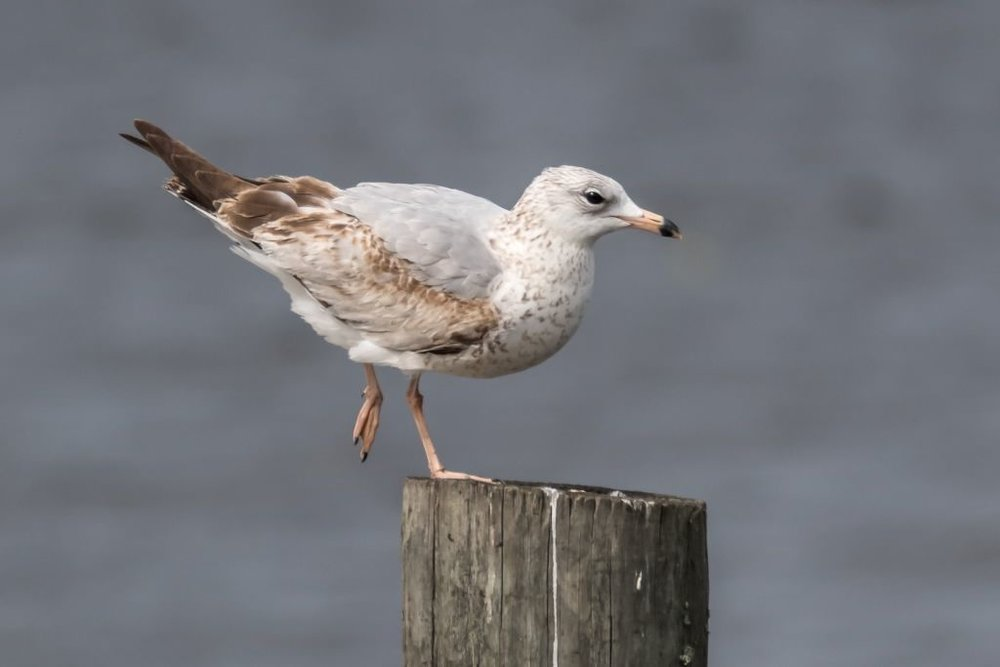 Ring-billed Gull, 1st year