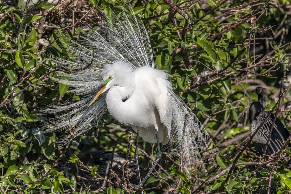 Great White Egret (HR)