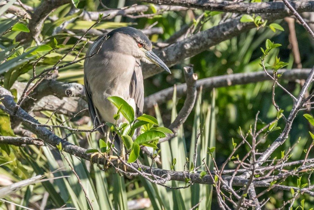 Black-crowned Nightheron, adult (HR)