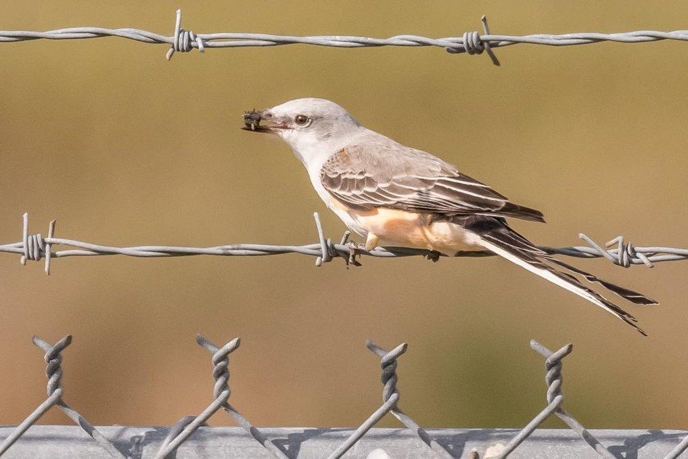 3 Scissored-tailed Flycatcher