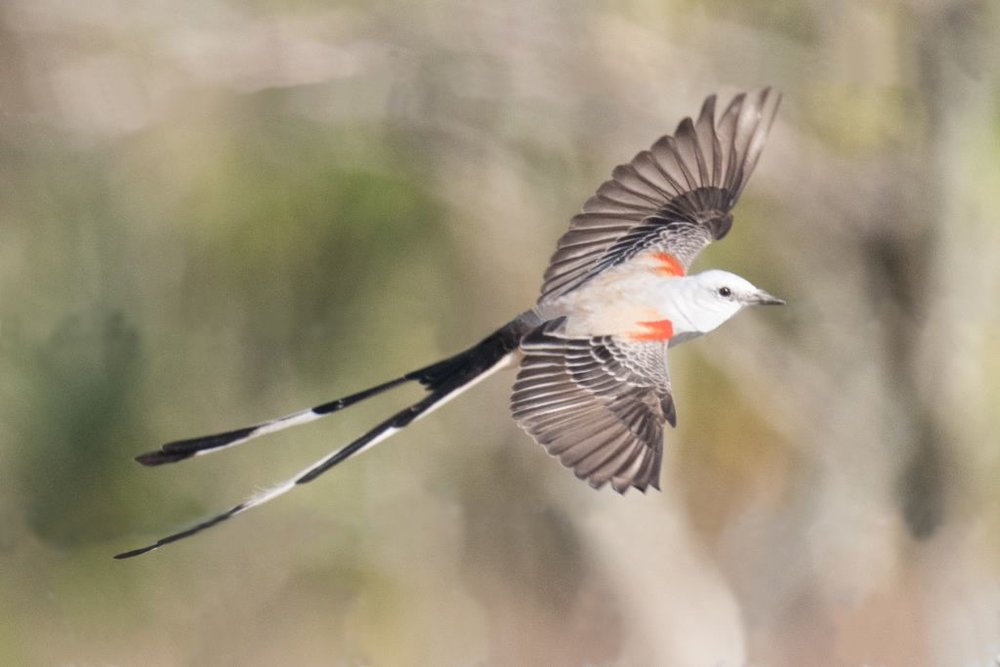 4 Scissored-tailed Flycatcher