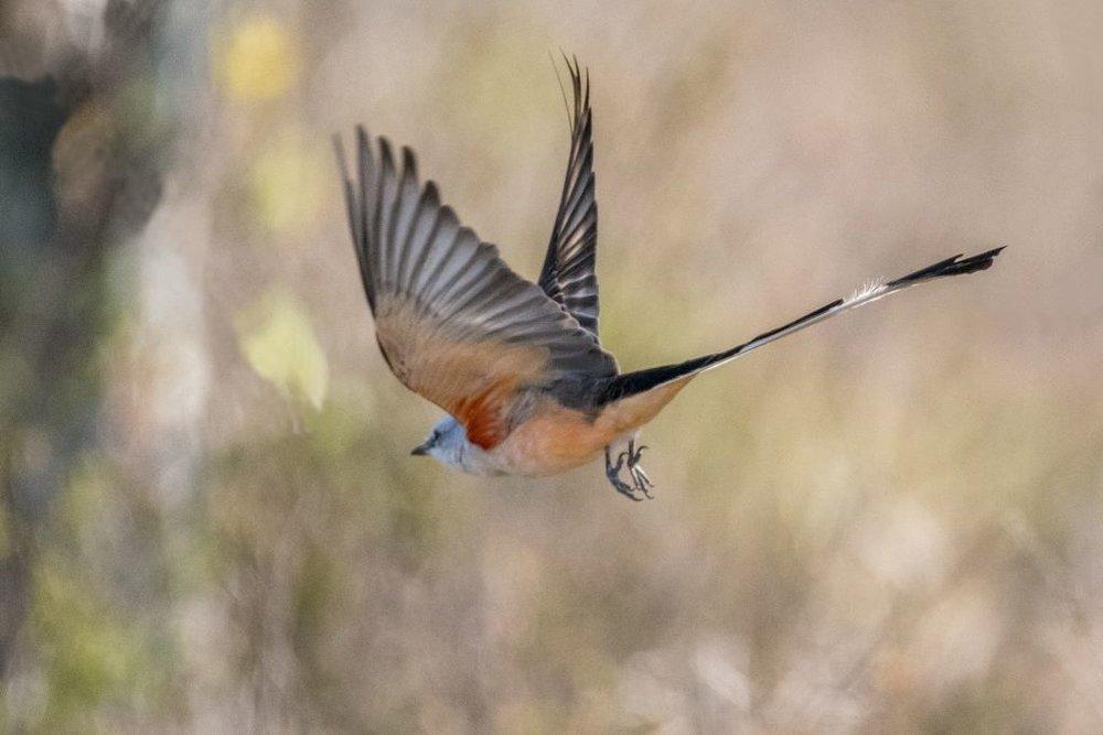 5 Scissored-tailed Flycatcher
