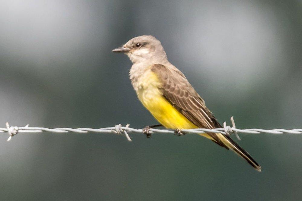 6 Western Kingbird