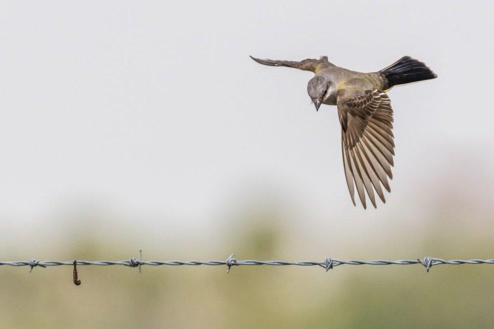9 Western Kingbird