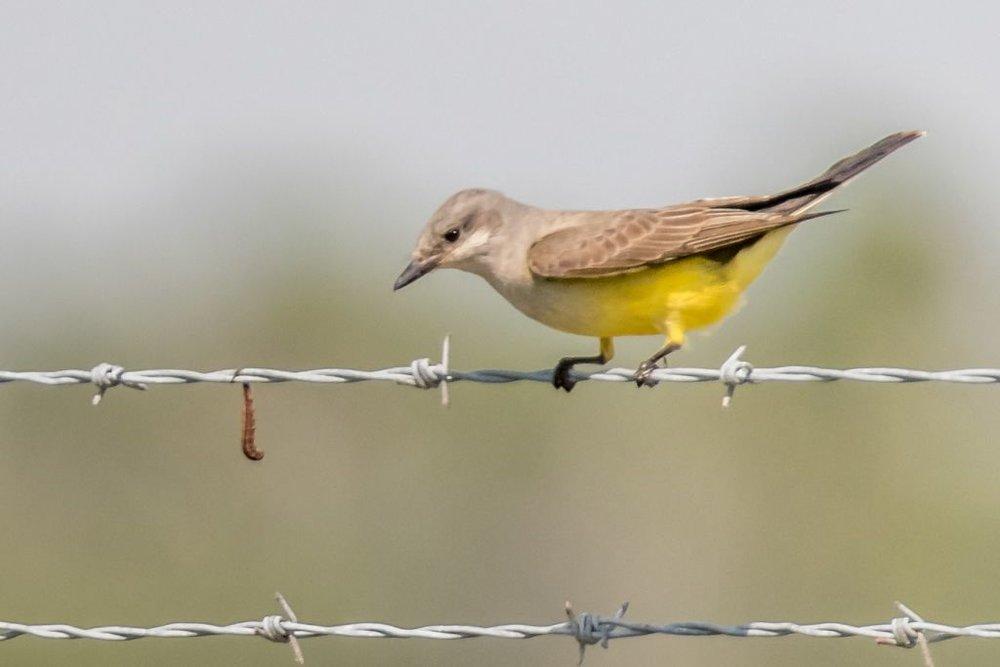 10 Western Kingbird
