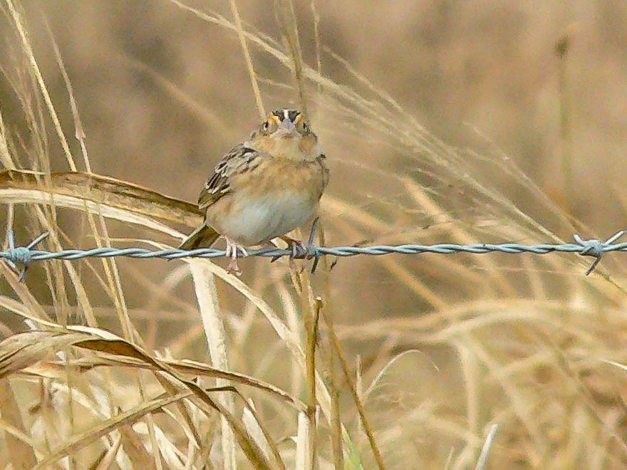 12 Grasshopper Sparrow