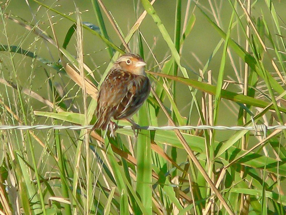13 Grasshopper Sparrow