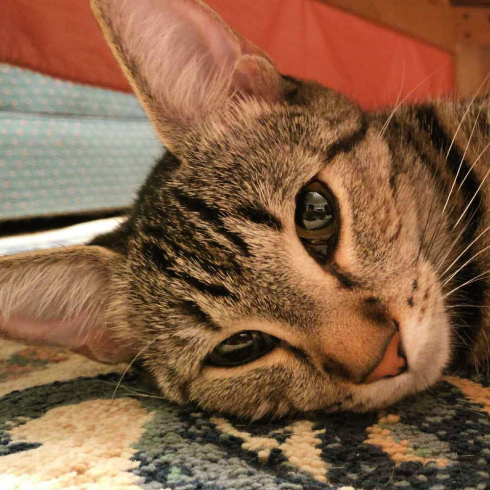 Luna, Spayed Via Our    Kitty Clip Program