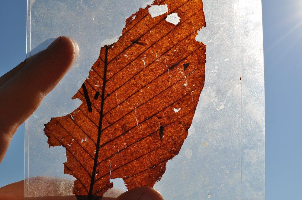 15 myo leaf, lifted from fossil beds in Clarkia, Idaho