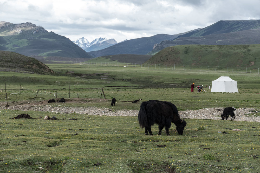 Typical Tibetan tableau: yaks, yurts, monks with mountains in the background