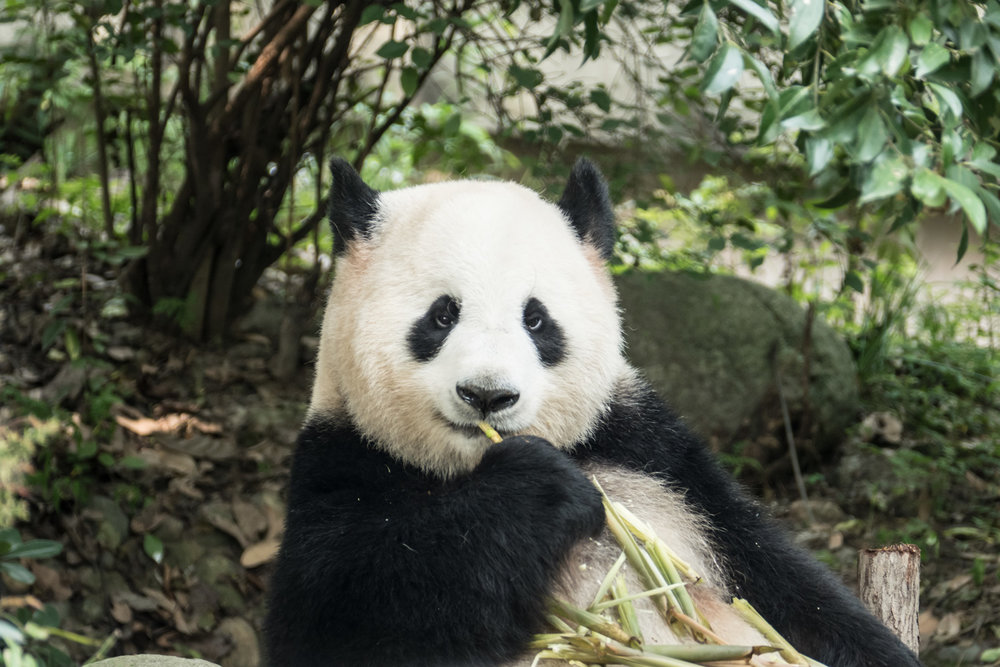 At the Chengdu Research Base for Pandas