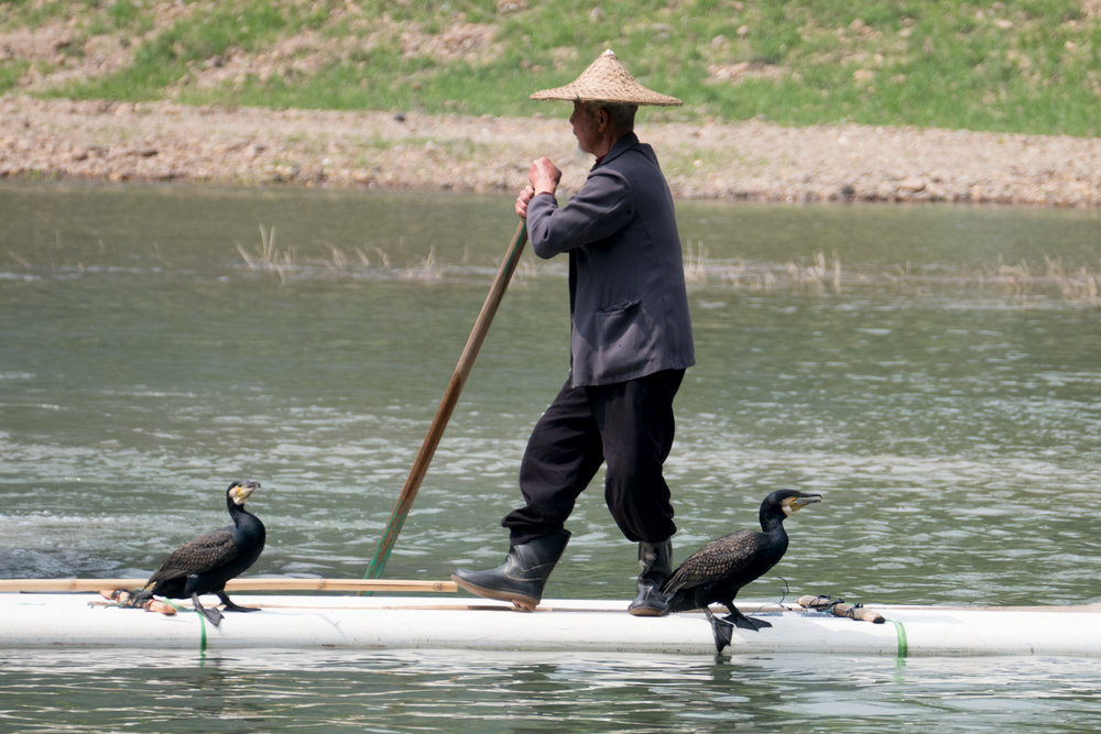 Fisherman with cormorants