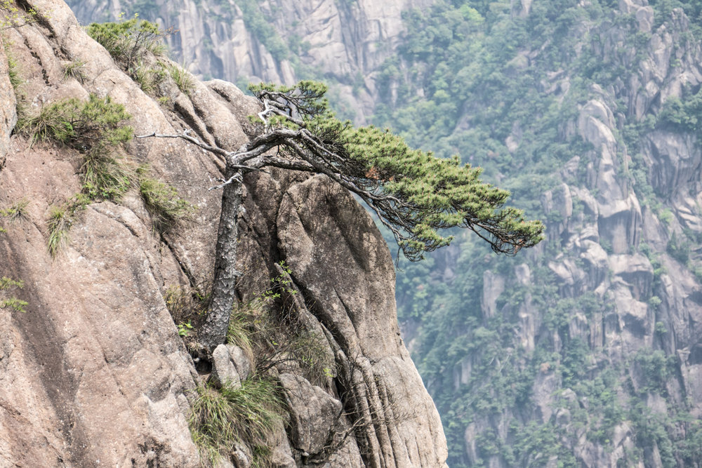 Ancient pine trees growing in rock