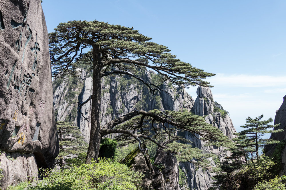 Welcoming pine tree, one of the most famous spots on the mountain and possibly the most photographed tree in the world