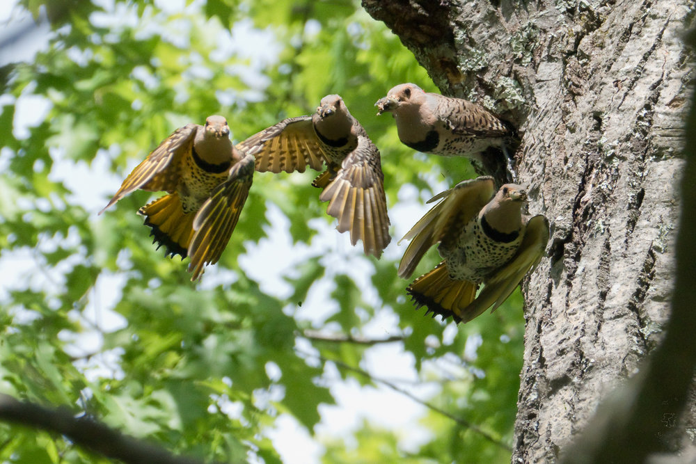 Sequence of a flicker leaving its nest