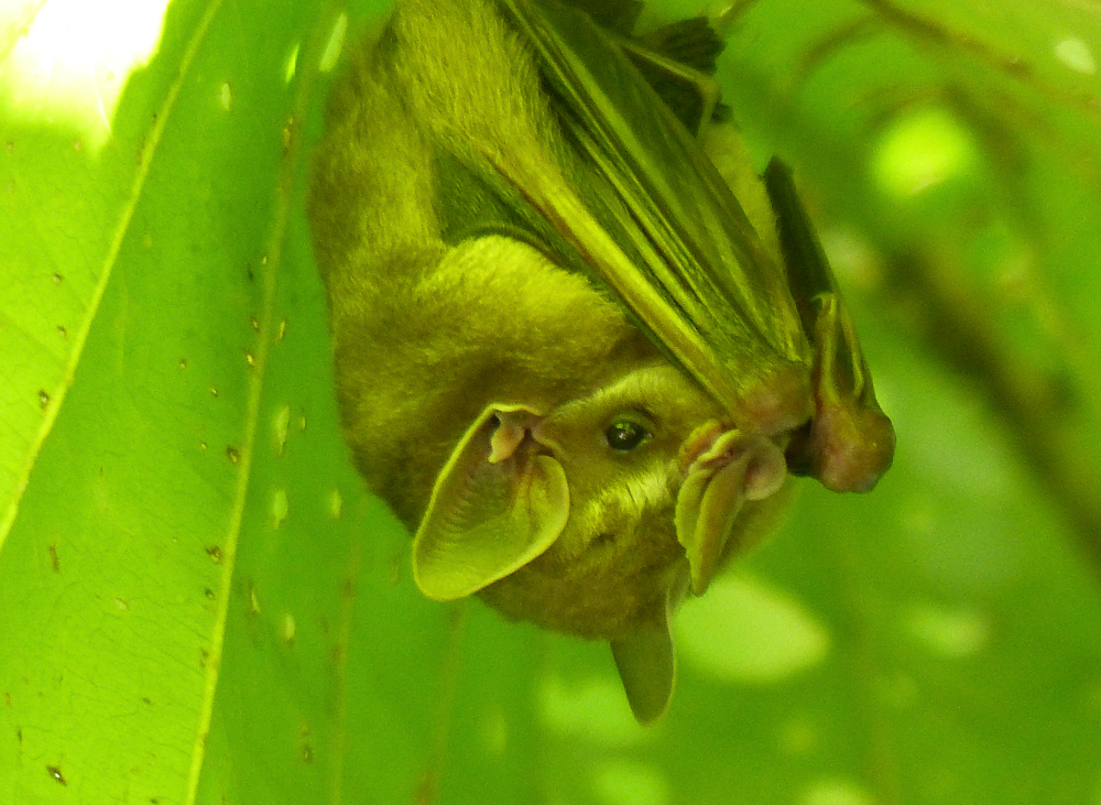 Bat hiding under a leaf. I have no idea how the guide knew it was here.