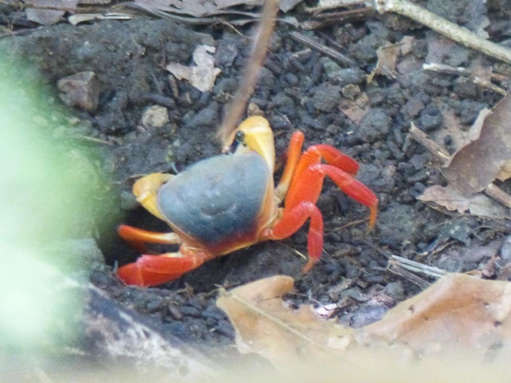 Land crab in rainforest