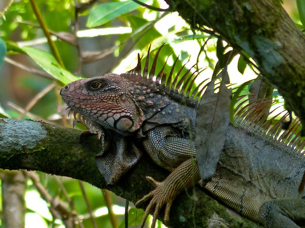 A large iguana
